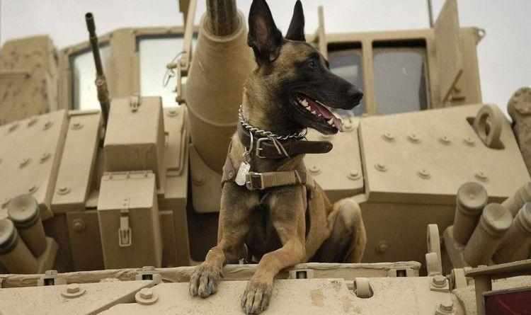 SAS Dog Turns Into A Jihadist's Nightmare…Rips Out Jihadi's Throat And Saves Patrol Caught In Ambush